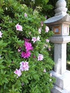 箕曲神社のツツジ(伊勢市小木町)