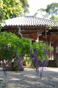 鉢植えの藤と本堂(太江寺)