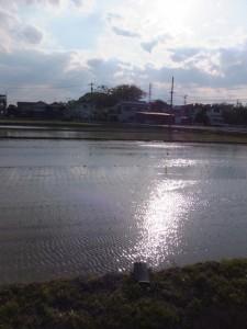 田植えを終えた水田と御薗神社の社叢(伊勢市御薗町)
