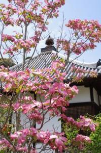 ハナミズキと経堂(橘寺)