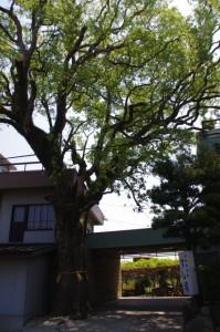 楠の大樹(町屋橋跡付近)