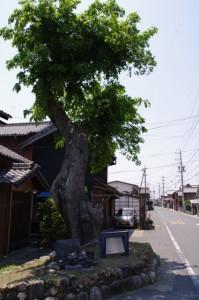 エノキの大木(7047)