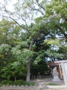 センダン(箕曲神社)