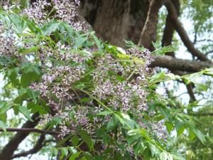 センダンの花(箕曲神社)