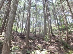 杉の植林(新池付近)