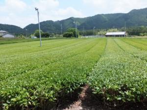 茶畑(大台町柳原)