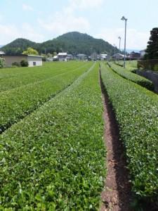 茶畑(大台町新田)
