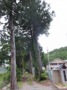 大宮小学校校庭脇のヒノキの並木道