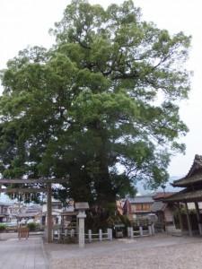 大楠(尾鷲神社)