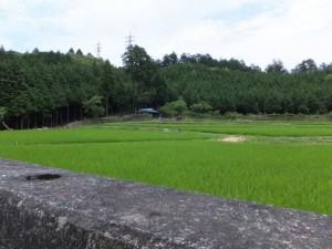 吉野橋(朝熊川)付近の水田