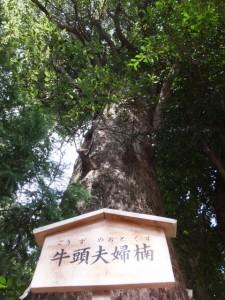 牛頭夫婦楠(上社)