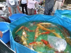 清掃作業のため饗膳所前の池から一時退避された鯉(内宮)