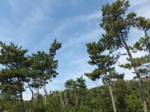 七里御浜の防風林