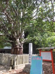 国指定天然記念物 梛の大樹(熊野速玉大社)