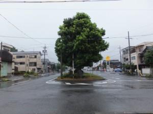 クスノキの並木(JR参宮線 山田上口駅前の中央分離帯)