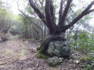松尾道(青峯山登山口〜正福寺)、天然記念物 達磨座姥目樫石
