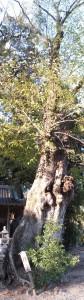 椋(水屋神社)
