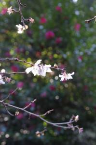 サクラとサザンカ(鴨下神社付近)